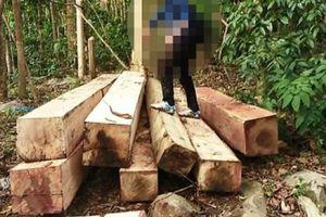 Lợi dụng ngày lễ, lâm tặc 'xẻ thịt' hàng chục khối gỗ khủng