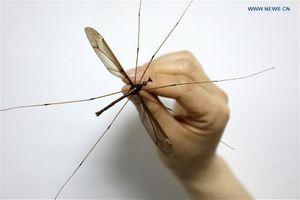 Tìm thấy loài muỗi đột biến khổng lồ lớn nhất thế giới