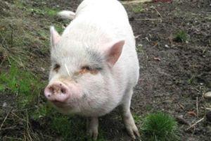 Nhiều người sốc vì lợn ỉ Việt Nam nuôi làm thú cưng bị chủ ăn thịt ở Canada