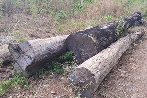 Bắt gỗ lậu tại Đắk Lắk: Vườn Quốc gia Yok Đôn báo cáo gì?