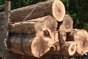 Kiểm đếm, làm rõ nguồn gốc hàng ngàn mét khối gỗ trong kho của Phượng 'râu'