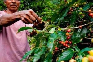 Giá nông sản hôm nay 1/5: Giá cà phê, giá tiêu ít biến động, Trung Quốc tiếp tục nhập khẩu nhiều hạt tiêu Việt