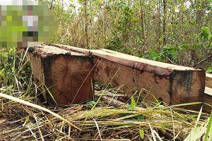 Gia Lai: Chính quyền nói không, nhưng gỗ rừng vẫn 'không cánh' mà bay
