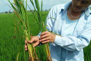 Thanh Hóa: Dân hoang mang vì giống lúa 'ma' lây lan nhanh chóng mặt
