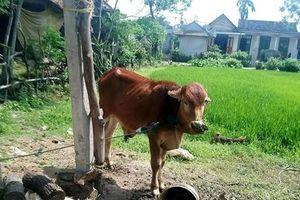 Vụ bò giống 'đi nhầm' nhà cán bộ ở Quảng Trị: Kỷ luật một số 'quan xã'
