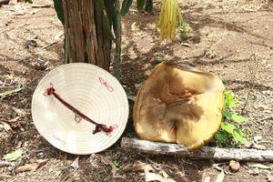 Đắk Lắk: Phát hiện nấm lạ chỉ sau vài giờ mọc đã lớn bằng chiếc nón lá