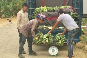 Bản Lang thoát nghèo nhờ cây chuối