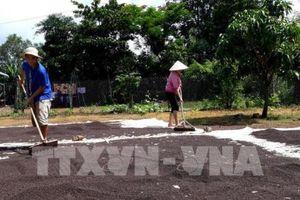Phát triển bền vững ngành hồ tiêu - Bài 3: Giá tiêu lao dốc, nông dân lao đao