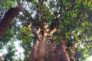 Phát hiện cây pơ mu 'khủng' có niên đại gần 1000 năm tuổi