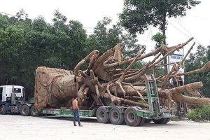 3 cây cổ thụ 'khủng' chưa thể di chuyển ra Hà Nội vì 6 cây cầu yếu