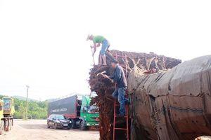 Vụ cây 'khủng' xuyên Việt: Chờ ý kiến Tổng cục Đường bộ