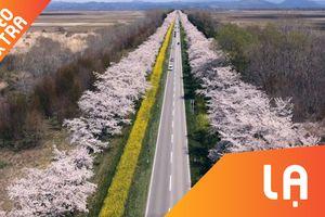 Mê lòng những con đường hoa anh đào Nhật Bản