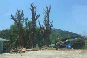 Cấp phép vận chuyển 3 cây khủng vượt quá khả năng của Thừa Thiên-Huế