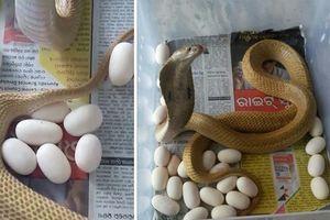 Hãi hùng phát hiện rắn hổ mang làm ổ đẻ hàng chục quả trứng trong nhà