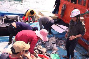 Ngư dân Lý Sơn liên tục đón 'lộc biển'