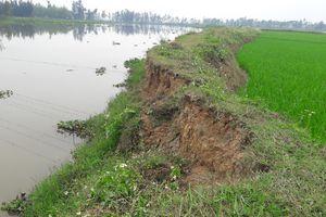 Đê sông Bùng đang sạt lở từng ngày