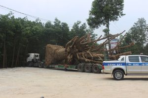 Cách nào vận chuyển 3 cây khủng như 'quái thú' ra Hà Nội?