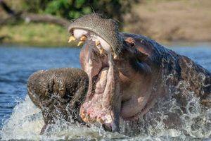 Ảnh động vật tuần: Hà mã 2 tấn đánh nhau, công khoe lông tán tỉnh...