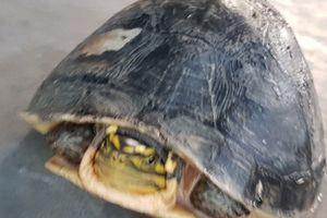 Thầy giáo 'giải cứu' chú rùa quý hiếm suýt lên bàn nhậu
