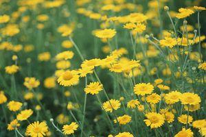 Bài thuốc chữa các bệnh về mắt từ cúc hoa vàng