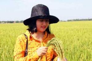Nhiều ưu điểm, Bắc Hương 9 hứa hẹn bội thu trên đất Quảng Trị