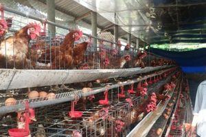 Cho gà siêu trứng nghe nhạc, thu nhập 20 triệu đồng/tháng