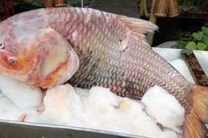 Lần đầu tiên, cá hô huyết vảy rồng siêu khủng 'trình làng'