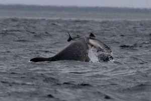 Hai loài cá heo 'kịch chiến' trên biển khiến nhà khoa học bối rối