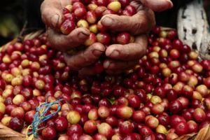 Giá nông sản hôm nay 23/5: Cà phê, tiêu cùng ở mức giá thấp, nông dân bán ra nhỏ giọt
