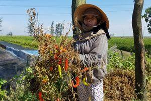 Nông dân trồng ớt lao đao vì doanh nghiệp 'bỏ của chạy lấy người'