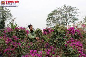 Hà Nội: Người dân Phù Đổng 'phất' lên từ nghề trồng cây cảnh