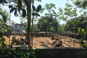 Mắc màn ăn cơm vì ô nhiễm từ trại nuôi đà điểu
