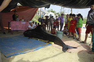 Lại phát hiện cá ông dạt vào bờ biển Quảng Ngãi
