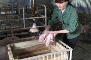 Giá lợn hơi tăng: Cục không biết trong chuồng có... bao nhiêu lợn?