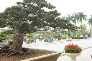 Cây thông đen da báo được mệnh danh 'vua bonsai' đã có mặt ở Thủ đô