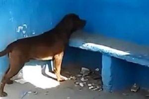 Bí ẩn lý do chú chó 3 ngày liền đến nhìn chằm chằm vào bức tường xanh