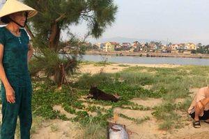 Cá hố rồng 'khủng' liên tục chết dạt vào bờ biển