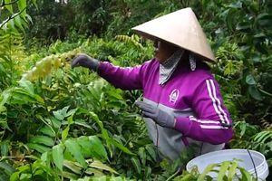 Người phụ nữ lội bùn hái rau choại ở ven Sài Gòn