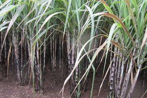 Bón phân lân nung chảy và NPK-S Lâm thao cho cây mía