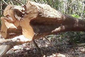 Thông tin chính vụ phá ươi rừng tại Bình Phước