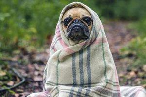 Chó có thể trở thành nguồn lây nhiễm tiếp theo của đại dịch cúm chết người