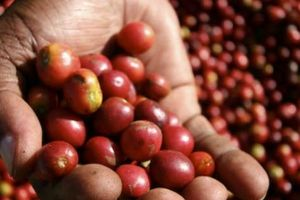 Giá nông sản hôm nay 8/6: Giá cà phê giảm mạnh chạm đáy, giá tiêu đi ngang