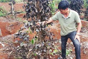 Đắk Nông: Côn đồ 'áp bức' nông dân, phá hoại vườn cây, đòi bảo kê nông sản