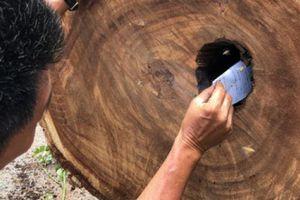 Bất ngờ với tổ ong 'khủng' trong thân cây trăm tuổi bị đổ ở Sài Gòn