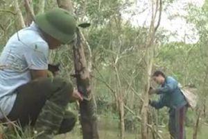 Giá nhựa sơn 'lao dốc', dân Phú Thọ chặt cây truyền thống