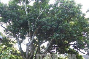 Khoảng 3.000 lượt khách tham quan cây vải tổ ở Hải Dương