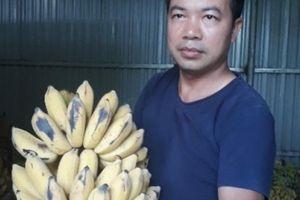 Chuối Yên Châu 'chạy' vào nhà máy, nông dân bớt lo