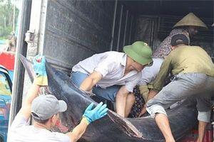 Cá kìm cờ 'khủng' sa lưới ngư dân Nghệ An