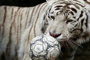 Thích thú cảnh động vật sở thú Nga chơi bóng mừng World Cup 2018