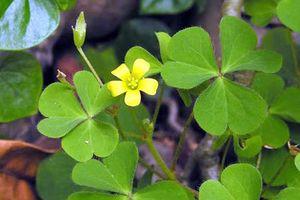 8 loại cây cỏ trong vườn nhà trị viêm họng cực tốt